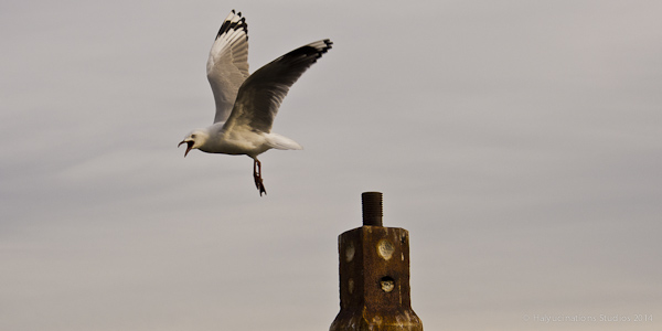 Gull Launch